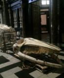 Voor 'Out of the Box' hangt het toekomstige Gents Universiteitsmuseum (GUM) in oktober 2017 het skelet van vinvis Leo in de Sint-Baafskathedraal op (foto UGent).